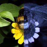 Jak vidí včelka samotářka a jakou roli to má při sběru nektaru a opylení rostlin?