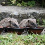 Přikrmování ježků