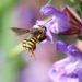 Druhy včelek samotářek