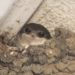 Vlaštovky a jiřičky – nejčastější otázky a odpovědi ohledně hnízdění na lidských objektech