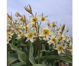 Směs cibulovin trvalek pro opylovače - do trávníku nebo louky