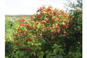 Kalina obecná (Viburnum opulus)