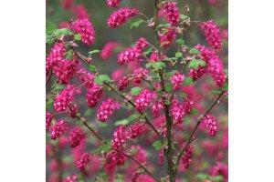 Meruzalka krvavá (Ribes sanguinea)