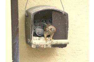Ptačí budka 28 - pro poštolky