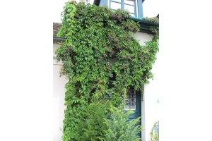 Loubinec pětilistý (Parthenocissus quinquefolia)