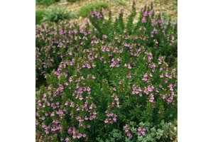 Saturejka zahradní (Satureja hortensis)